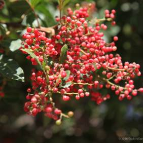 Peppercorns on pepper tree.