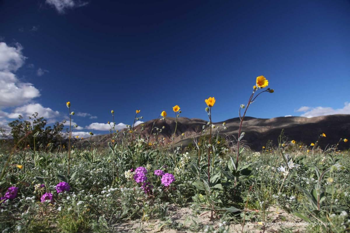 Desert Bloom Underway In Abdsp Explore San Diego And Beyond